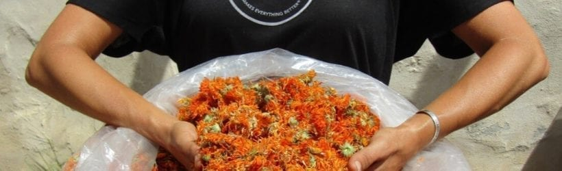 All Good team member putting hands in a bag of calendula flowers wearing an All Good shirt
