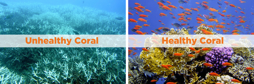 A photo comparison of bleached unhealthy coral and healthy coral.